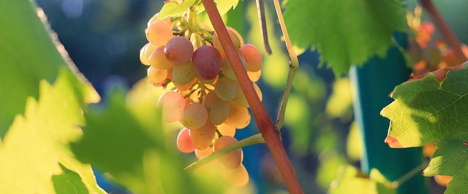 Produção de vinhos brasileiros